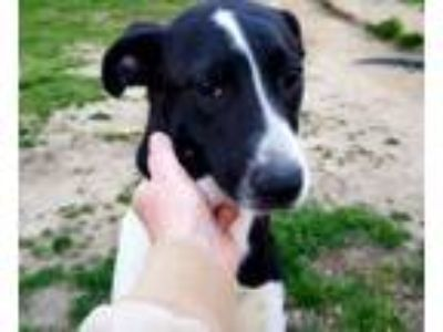 Adopt BLITZ a Pointer, Border Collie