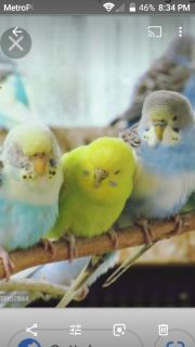 7 Parakeets w/lrg cage/breeder boxes