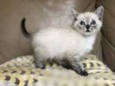 Adopt Joey (Lynx Point) Friendly! a Cream or Ivory (Mostly) Siamese (short coat)