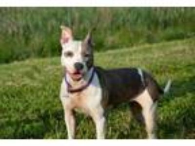 Adopt Roxy a White American Pit Bull Terrier / Mixed dog in Westampton