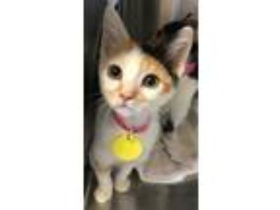 Adopt Dido a Orange or Red Domestic Shorthair / Domestic Shorthair / Mixed cat