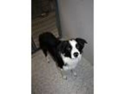 Adopt Tweed a Border Collie