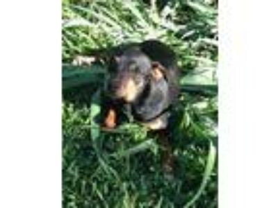 Adopt Pez a Black - with Tan, Yellow or Fawn Miniature Pinscher / Mixed dog in