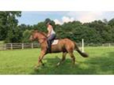 Super Cute 142HH Registered Quarter Horse Gelding