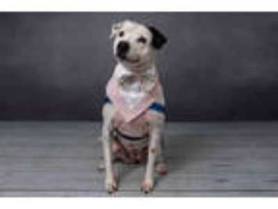 Adopt MACI a White American Staffordshire Terrier / Boston Terrier / Mixed dog
