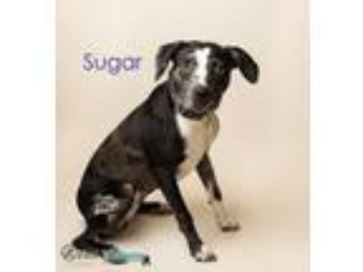 Adopt Sugar a Catahoula Leopard Dog