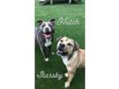 Adopt Starsky (with Hutch) a Pit Bull Terrier, German Shepherd Dog
