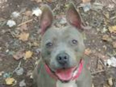 Adopt Tara a Gray/Blue/Silver/Salt & Pepper Terrier (Unknown Type