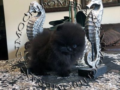 AKC Micro Teacup Solid Black Pomeranian Puppy