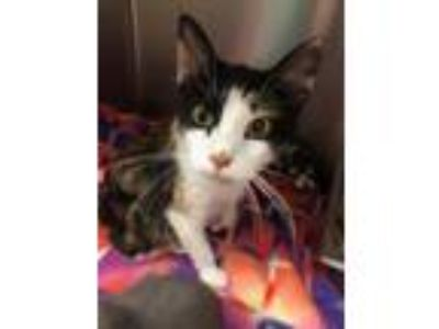 Adopt Lady Lumps a Domestic Short Hair