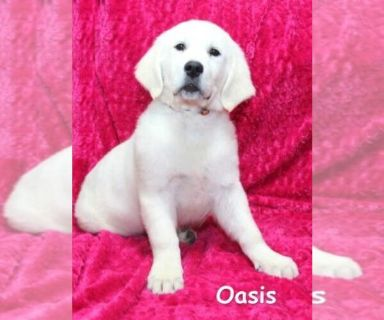 English Cream Golden Retriever PUPPY FOR SALE ADN-131166 - Oasis  Female English Cream Golden Retriever
