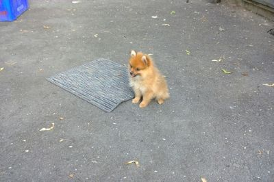 Pomeranian PUPPY FOR SALE ADN-88358 - Adorable Pomeranian Pups