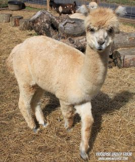 Male Alpaca-Great Fiber!