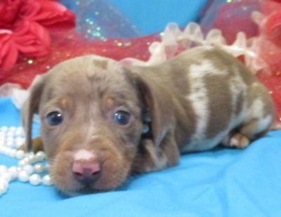 Dachshund PUPPY FOR SALE ADN-108681 - ALL COLORS AVAILABLE