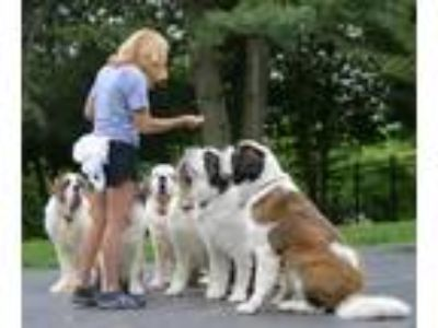 Adopt Foster Homes Needed a Saint Bernard / St. Bernard