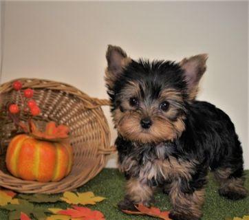 Yorkshire Terrier PUPPY FOR SALE ADN-101559 - AKC Yorkie puppy