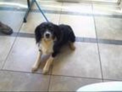 Adopt KODAK a Cocker Spaniel, English Shepherd