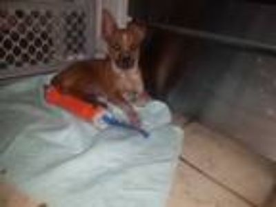 Adopt Kirin a Red/Golden/Orange/Chestnut - with White Lancashire Heeler / Mixed