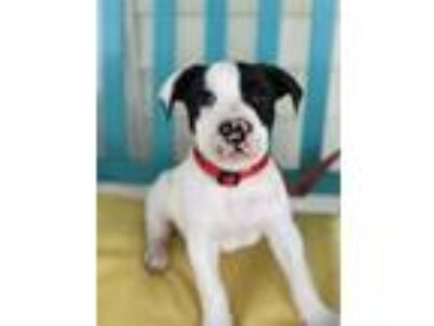 Adopt Domino a White - with Black Pit Bull Terrier / Mixed dog in