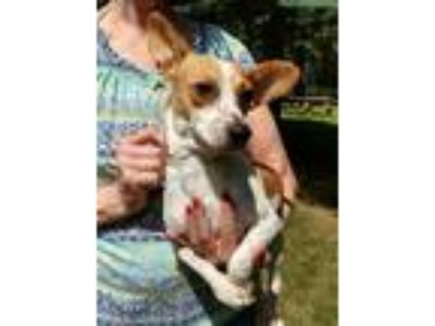 Adopt Granite a Terrier (Unknown Type, Small) / Beagle / Mixed dog in Thompson