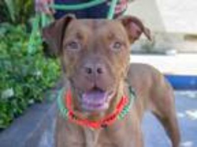 Adopt *RED - ID#A385432 a Pit Bull Terrier