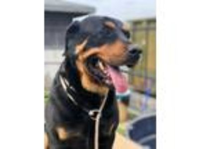 Adopt Zoey a Black - with Brown, Red, Golden, Orange or Chestnut Rottweiler /