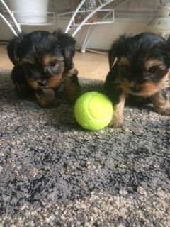 Free Tcup Yorkie Male and Female Available