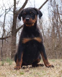 Rottweiler PUPPY FOR SALE ADN-77498 - AKC Champion Line German Rottweiler Puppies Ready