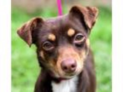 Adopt RORY a Brown/Chocolate - with White Rat Terrier / Mixed dog in Darien