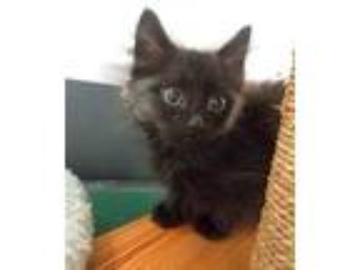 Adopt Mikey a Domestic Short Hair
