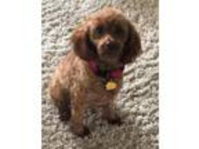 Adopt Maisey a Poodle