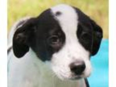 Adopt Raven B a Border Collie, Australian Cattle Dog / Blue Heeler