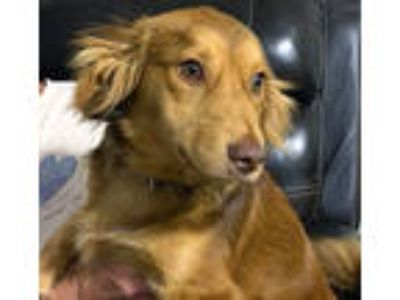 Adopt Smokie a Golden Retriever, Dachshund