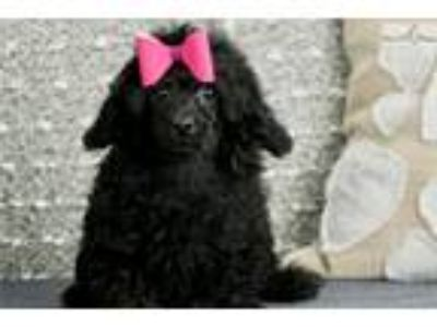 Super cute Poodle Girl Lovey available!
