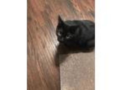 Adopt Onyx CP:Lisa a All Black Domestic Shorthair / Mixed cat in Dallas