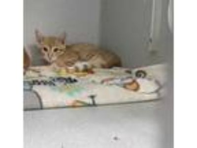 Adopt KITTEN1 a Orange or Red Tabby Domestic Shorthair / Mixed (short coat) cat