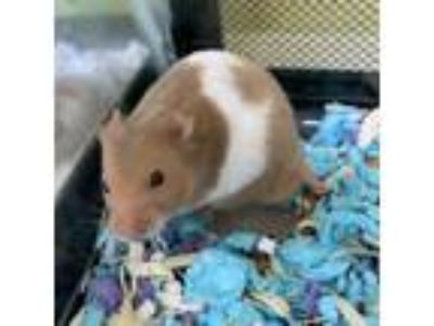 Adopt Marlow a Tan or Beige Hamster / Mixed small animal in Largo, FL (25828883)