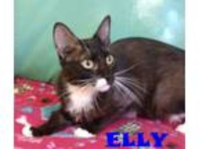 Adopt ELLY a Domestic Short Hair