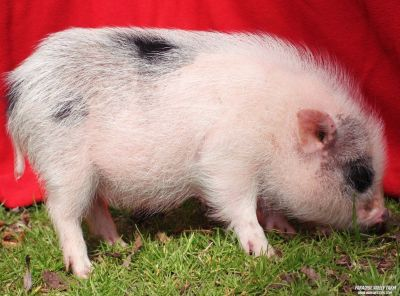 Loving Adult Mini Pigs! Looking for a good home.