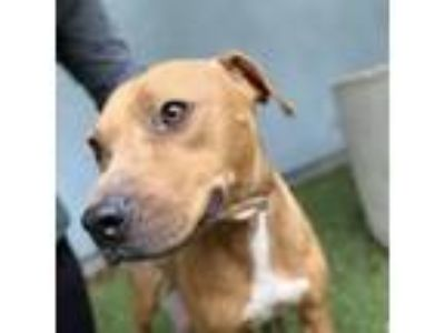 Adopt Nova a Brown/Chocolate American Pit Bull Terrier / Mixed dog in Oakland