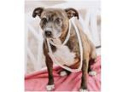 Adopt Zoey a American Staffordshire Terrier
