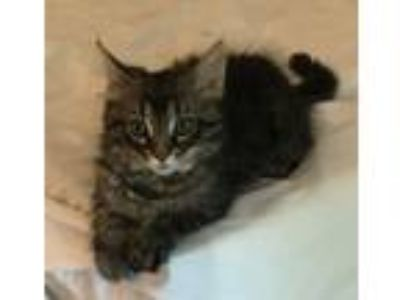 Adopt Tiaramisu a Brown Tabby Maine Coon (medium coat) cat in Lombard