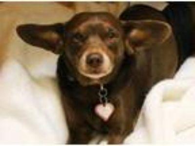 Adopt Hershey a Brown/Chocolate Beagle / Rat Terrier / Mixed dog in Santa Cruz