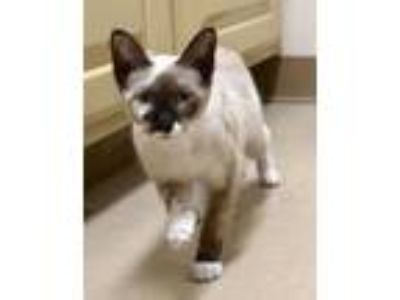 Adopt 42165401 a Snowshoe, Domestic Short Hair