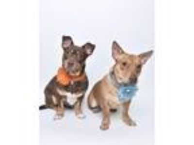 Adopt Cheina and Gucci Bear (bonded pair) a Dachshund, Pit Bull Terrier