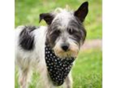 Adopt Willow (I'M A STAR) a White Terrier (Unknown Type, Small) / Mixed dog in