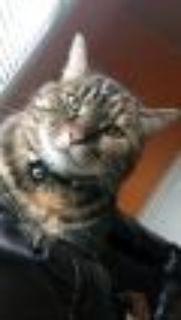 Rosy - DECLAWED SWEET PEA Tabby Cat