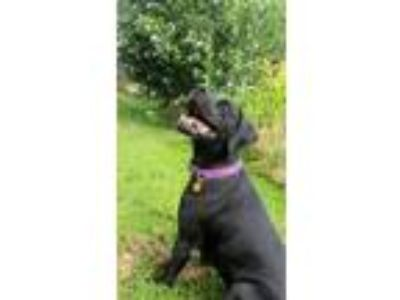 Adopt Isabelle a Labrador Retriever / Mixed dog in St. Charles, MO (25509364)