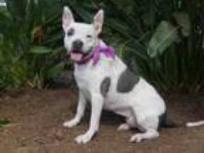 Adopt COOKIE a Mixed Breed, Staffordshire Bull Terrier