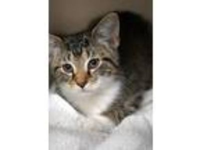 Adopt Mikey is just the cutest OMG! a Bengal, Turkish Van